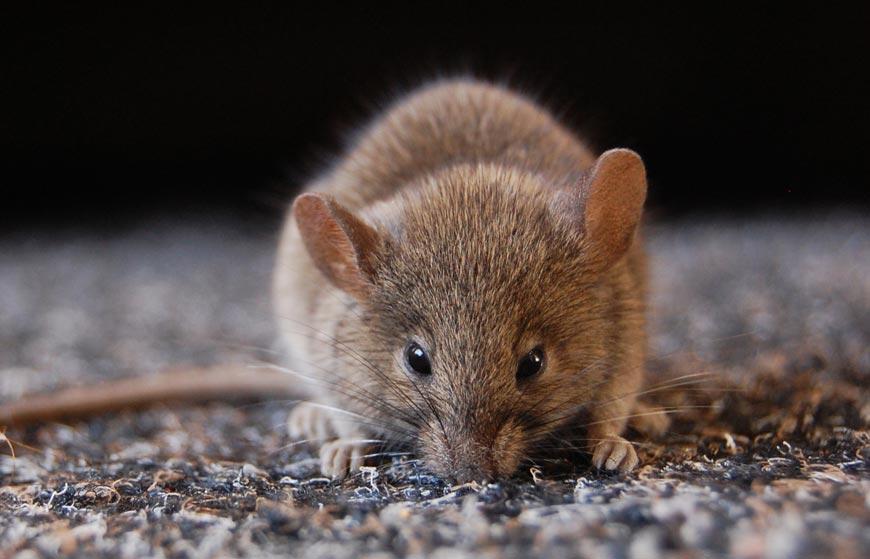 Mouse Pest Control Glasgow